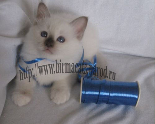 бирманский котенок на продажу