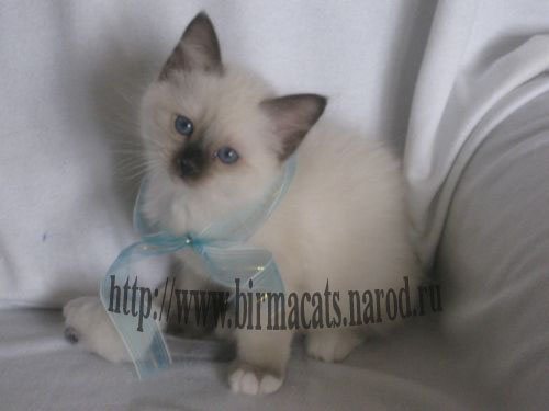 бирманские котята из питомника Курте Кё