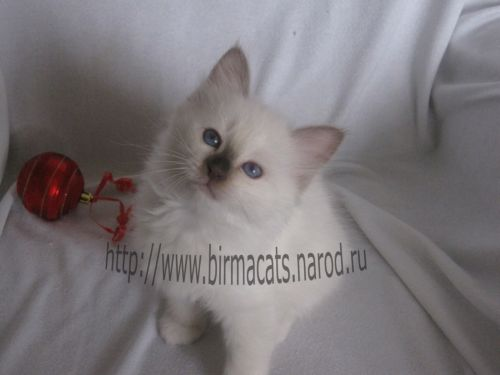 бирманская кошечка котенок на продажу