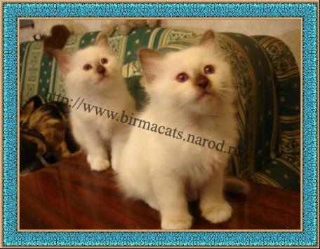 бирманские котята на продажу